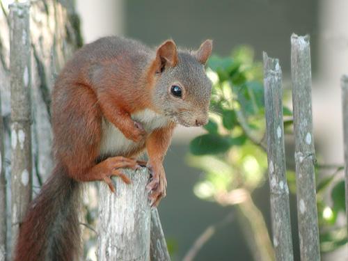 L'écureuil performant !  dans ECUREUIL ecureuil_roux_03