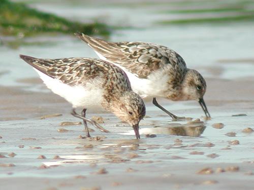"""Résultat de recherche d'images pour """"bécasseau sanderling"""""""