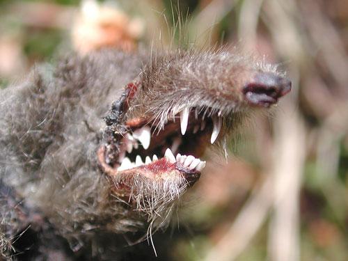 Dentition de Taupe (Talpa europaea)